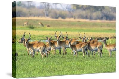 Botswana. Okavango Delta. Khwai Concession. Red Lechwe Herd-Inger Hogstrom-Stretched Canvas Print