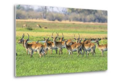Botswana. Okavango Delta. Khwai Concession. Red Lechwe Herd-Inger Hogstrom-Metal Print