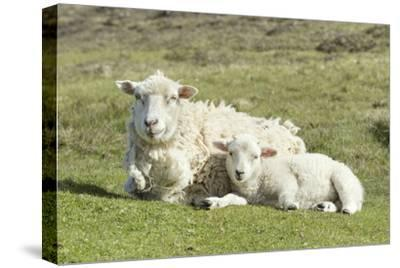Shetland Sheep at the Cliffs of the Hermaness Nature Reserve, Unst, Shetland Islands, Scotland-Martin Zwick-Stretched Canvas Print