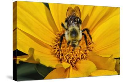 Carpenter Bee Collecting Nectar, Kentucky-Adam Jones-Stretched Canvas Print