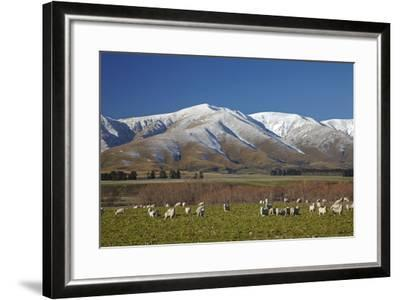 Sheep and Kakanui Mountains, Kyeburn, Central Otago, South Island, New Zealand-David Wall-Framed Photographic Print