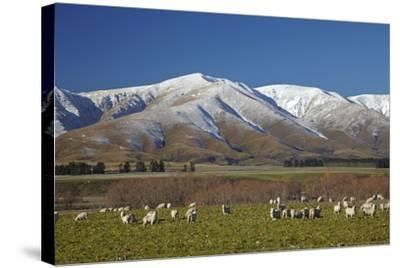Sheep and Kakanui Mountains, Kyeburn, Central Otago, South Island, New Zealand-David Wall-Stretched Canvas Print