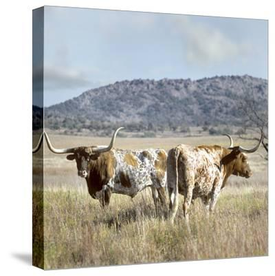 Longhorn Cattle, Texas, Usa-Tim Fitzharris-Stretched Canvas Print