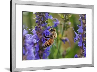 Honey Bee Collecting Nectar, Apis Mellifera, Kentucky-Adam Jones-Framed Photographic Print