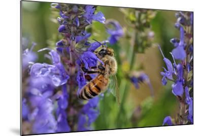 Honey Bee Collecting Nectar, Apis Mellifera, Kentucky-Adam Jones-Mounted Photographic Print