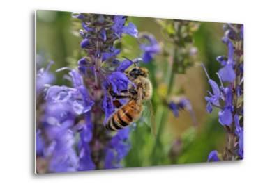 Honey Bee Collecting Nectar, Apis Mellifera, Kentucky-Adam Jones-Metal Print