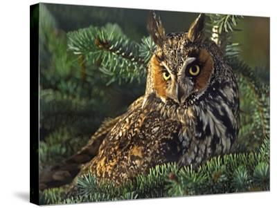 Long-Eared Owl, British Columbia, Canada-Tim Fitzharris-Stretched Canvas Print
