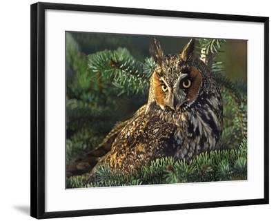 Long-Eared Owl, British Columbia, Canada-Tim Fitzharris-Framed Photographic Print