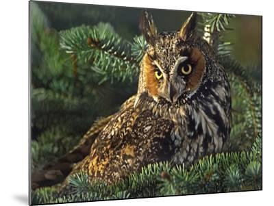 Long-Eared Owl, British Columbia, Canada-Tim Fitzharris-Mounted Photographic Print