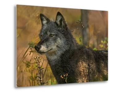 Gray Wolf in Autumn, Montana-Tim Fitzharris-Metal Print