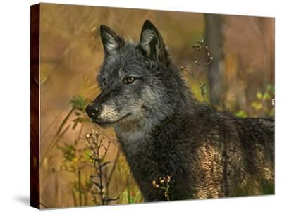 Gray Wolf in Autumn, Montana-Tim Fitzharris-Stretched Canvas Print