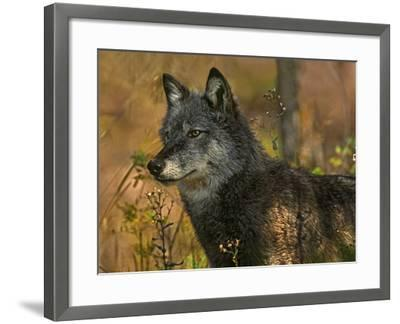 Gray Wolf in Autumn, Montana-Tim Fitzharris-Framed Photographic Print