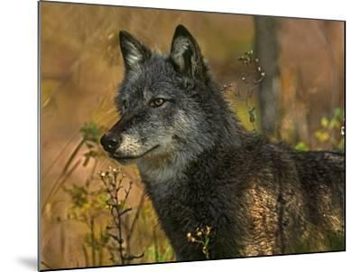 Gray Wolf in Autumn, Montana-Tim Fitzharris-Mounted Photographic Print
