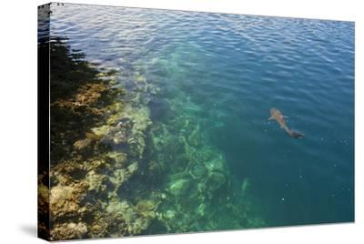 Black Tipped Sharks in the Crystal Clear Waters of the Marovo Lagoon, Solomon Islands, Pacific-Michael Runkel-Stretched Canvas Print