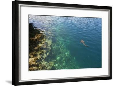 Black Tipped Sharks in the Crystal Clear Waters of the Marovo Lagoon, Solomon Islands, Pacific-Michael Runkel-Framed Photographic Print