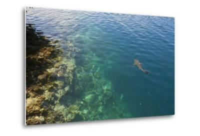 Black Tipped Sharks in the Crystal Clear Waters of the Marovo Lagoon, Solomon Islands, Pacific-Michael Runkel-Metal Print