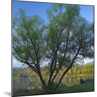 Willow Tree at Lackawanna Lake in Autumn, Lackawanna State Park, Pennsylvania, Usa-Tim Fitzharris-Mounted Photographic Print
