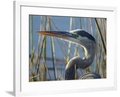 Great Blue Heron, Ardea Herodias, Viera Wetlands, Florida, Usa-Maresa Pryor-Framed Photographic Print