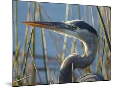 Great Blue Heron, Ardea Herodias, Viera Wetlands, Florida, Usa-Maresa Pryor-Mounted Photographic Print