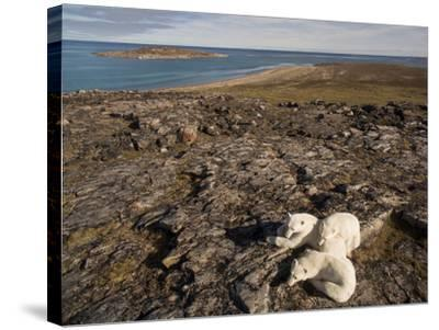 Polar Bear Resting with Cubs in Hills Above,Canada-Paul Souders-Stretched Canvas Print