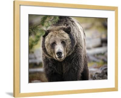 Brown Bear, Grizzly, Ursus Arctos, West Yellowstone, Montana-Maresa Pryor-Framed Photographic Print