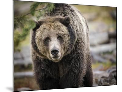 Brown Bear, Grizzly, Ursus Arctos, West Yellowstone, Montana-Maresa Pryor-Mounted Photographic Print