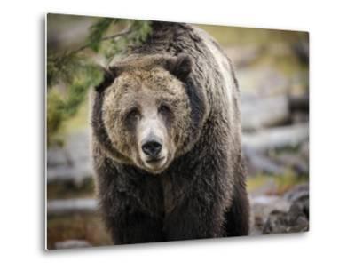 Brown Bear, Grizzly, Ursus Arctos, West Yellowstone, Montana-Maresa Pryor-Metal Print