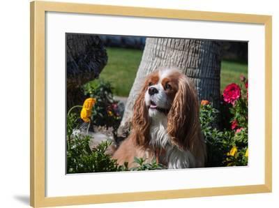 Cavalier Sitting in a Flowerbed-Zandria Muench Beraldo-Framed Photographic Print