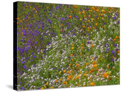 California Poppies and Desert Bluebells on a Meadow Hillside, California Usa-Tim Fitzharris-Stretched Canvas Print