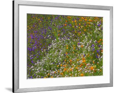 California Poppies and Desert Bluebells on a Meadow Hillside, California Usa-Tim Fitzharris-Framed Photographic Print