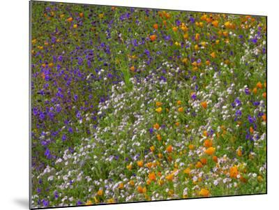California Poppies and Desert Bluebells on a Meadow Hillside, California Usa-Tim Fitzharris-Mounted Photographic Print