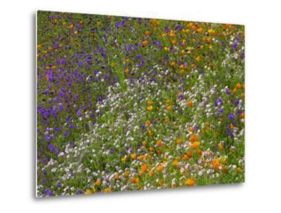 California Poppies and Desert Bluebells on a Meadow Hillside, California Usa-Tim Fitzharris-Metal Print