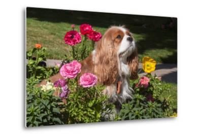 Cavalier Sitting in a Flowerbed-Zandria Muench Beraldo-Metal Print
