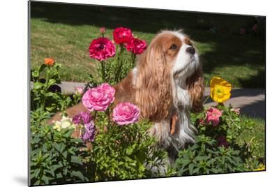 Cavalier Sitting in a Flowerbed-Zandria Muench Beraldo-Mounted Photographic Print