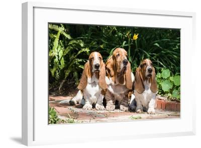 Basset Hounds Sitting on Garden Pathway-Zandria Muench Beraldo-Framed Photographic Print