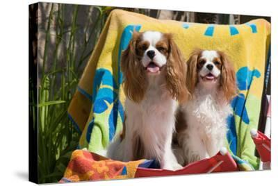 Cavaliers at a Pool Party-Zandria Muench Beraldo-Stretched Canvas Print