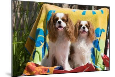 Cavaliers at a Pool Party-Zandria Muench Beraldo-Mounted Photographic Print