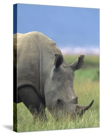 White Rhinoceros, Kenya, Africa-Tim Fitzharris-Stretched Canvas Print