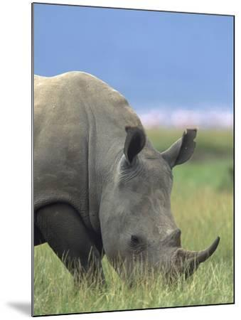 White Rhinoceros, Kenya, Africa-Tim Fitzharris-Mounted Photographic Print