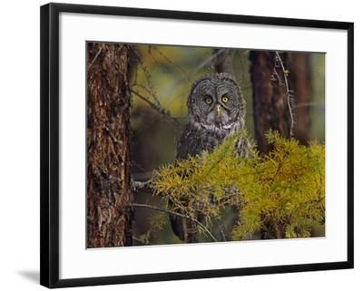 Great Gray Owl Perched in a Forest, British Columbia, Canada-Tim Fitzharris-Framed Photographic Print