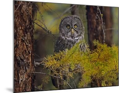 Great Gray Owl Perched in a Forest, British Columbia, Canada-Tim Fitzharris-Mounted Photographic Print