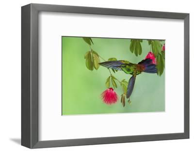 Copper-Rumped Hummingbird-Ken Archer-Framed Photographic Print