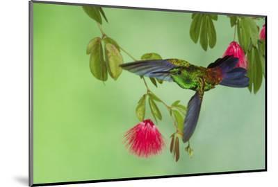 Copper-Rumped Hummingbird-Ken Archer-Mounted Photographic Print