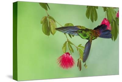 Copper-Rumped Hummingbird-Ken Archer-Stretched Canvas Print