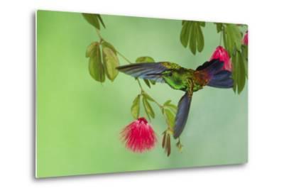 Copper-Rumped Hummingbird-Ken Archer-Metal Print