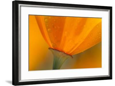 California. Close-Up of California Poppy-Jaynes Gallery-Framed Photographic Print