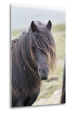Shetland Pony on the Island of Unst, Part of the Shetland Islands in Scotland-Martin Zwick-Metal Print