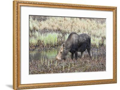 Alaska, Moose Off Seward Highway Near Girdwood-Savanah Stewart-Framed Photographic Print