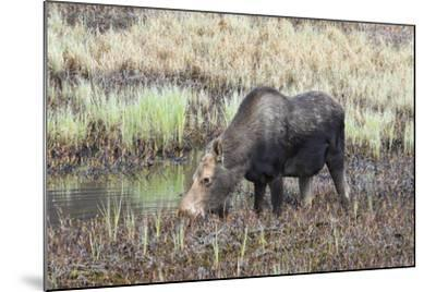 Alaska, Moose Off Seward Highway Near Girdwood-Savanah Stewart-Mounted Photographic Print