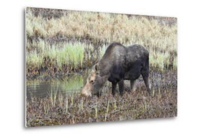 Alaska, Moose Off Seward Highway Near Girdwood-Savanah Stewart-Metal Print